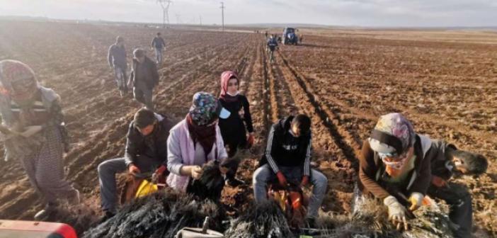 Mardin kırsalındaki kadınlar lavanta fidesi ekti