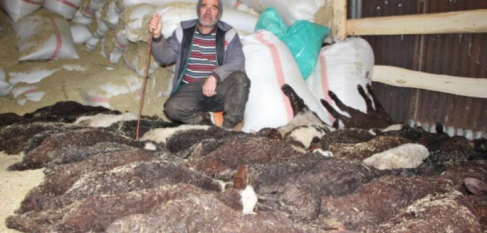 Veterinerin Hatası Nedeniyle 100 Kuzudan 95'i Bir Gecede Telef Oldu