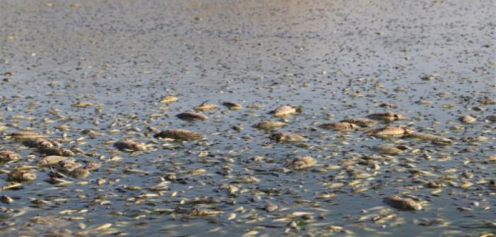 Mazıdağı'nda kuraklıktan suyu çekilen göletteki binlerce balık telef oldu
