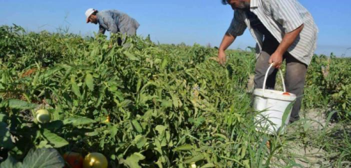 Adana'da 30 bin dönüm alanda turfanda domates hasadı yapılıyor