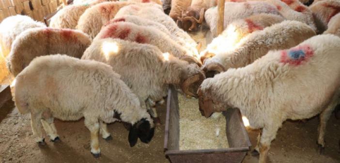 Yem fiyatlarındaki yüksek artış nedeniyle hayvanlarını satıyorlar