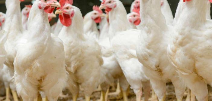 Gana'da kuş gribi alarmı: Binlerce kanatlı hayvan telef oldu