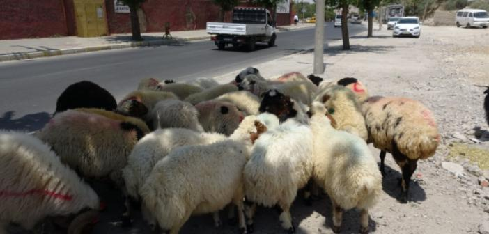 Mardin'de kurbanlık satışları başladı