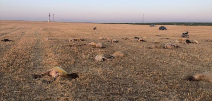 Tarladaki sudan içen 164 koyun telef oldu