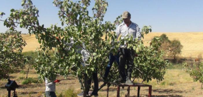 Diyarbakır'da fıstık rekoltesi kuraklık nedeniyle düştü
