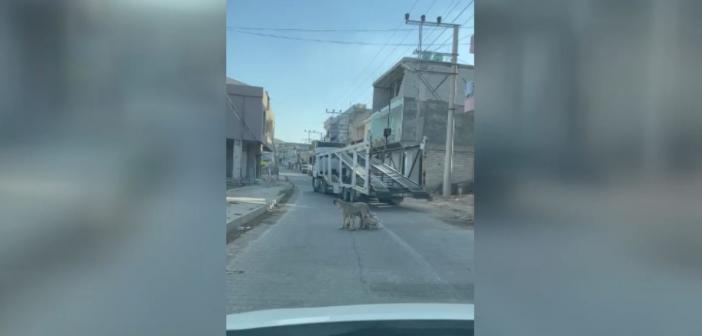 Yavru Köpekler Süt İçti, Trafik Tek Şeride Düştü!