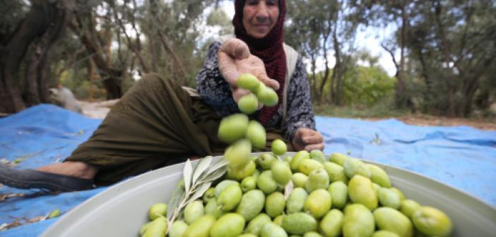Asırlık zeytin ağaçlarının bulunduğu Derik'te meşakkatli mesai başladı