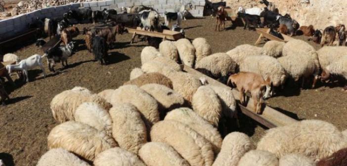 Kırsala salınan köpekler onlarca koyunu telef etti