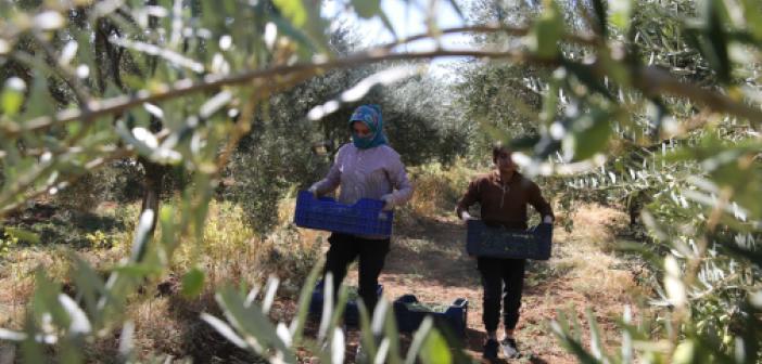 Kızıltepe Ovası'nda zeytin hasadı başladı
