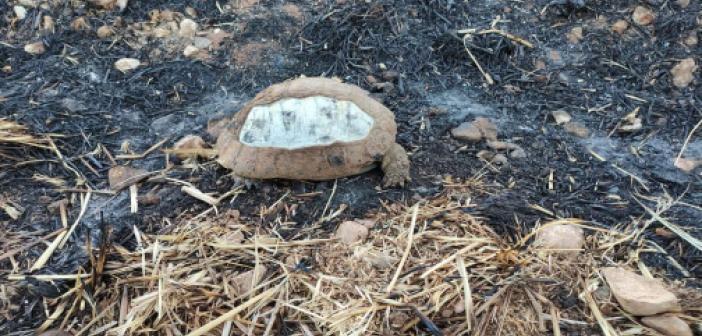 Tarla yangınında kaplumbağalar telef oldu